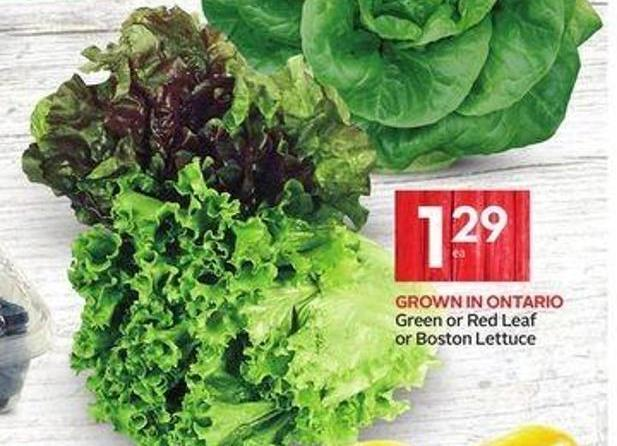 Green or Red Leaf or Boston Lettuce