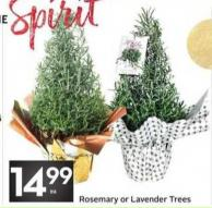 Rosemary or Lavender Trees