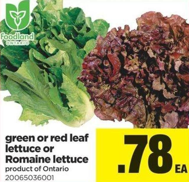 Green Or Red Leaf Lettuce Or Romaine Lettuce