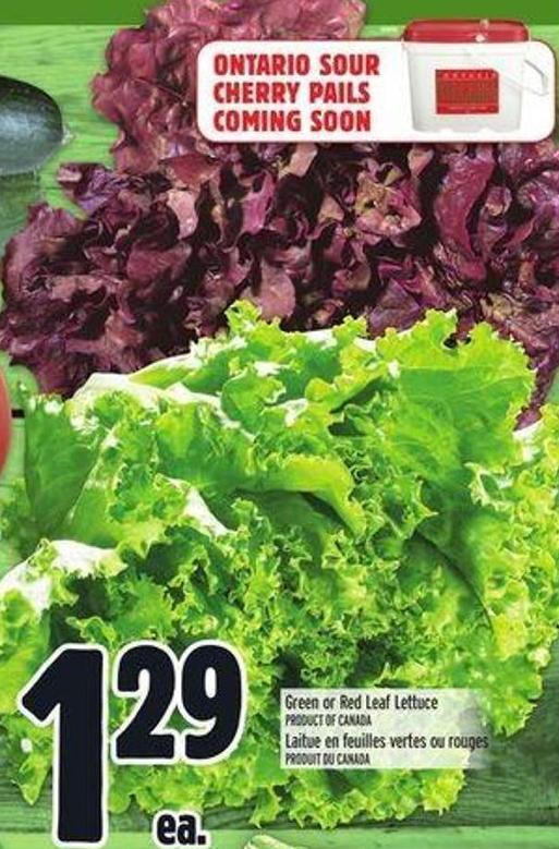 Green Or Red Leaf Lettuce